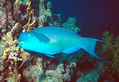 """906: Red Sea Parrot fish (archers30 - """"thanks for all the fish"""") Tags: life red sea water boat marine aqua warm underwater sub dive hard egypt scuba diving clear tropical creatures sharm sinai visibility liveaboard archers30 doublyniceshot"""