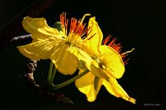 backlighting #1 (e.nhan) Tags: light flower art nature yellow closeup colours dof bokeh backlighting enhan
