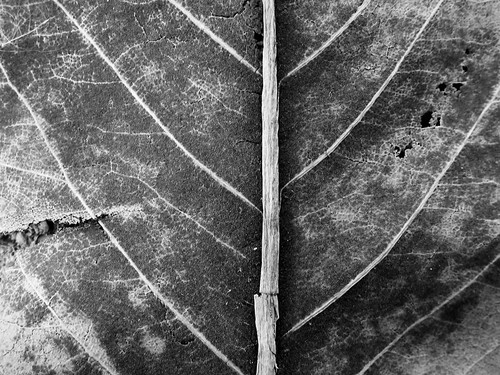 Dried Leaf Detail