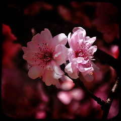 Pinkalicious (Carrie McGann) Tags: pink flowers sunlight texture sunshine square interesting blossoms magenta hotpink plumblossoms ttv ifyourcommentcomeswithaginormousgraphicitmaybedeleted