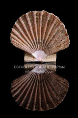 Pecten jacobaeus (josepmpenalver) Tags: ocean sea macro beauty marine close decoration shell clam shore single seashell isolated animalia mollusca bivalvia saltwater conch mollusk bivalve cockle pecten pectinidae jacobaeus ostreoida pectinoidea pectinina jmpfotocom