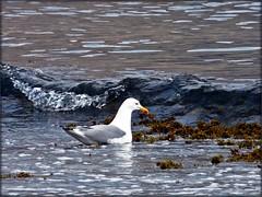 El bao (.Bambo.) Tags: sea beach water grey gris mar agua gull playa ave gaviota almera ola mediterrneo pjaro gaviotapatiamarilla