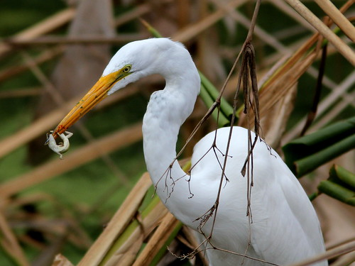 Great Egret with anole 20110220