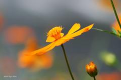 cosmos flower #21 (e.nhan) Tags: flowers light flower art yellow closeup colours bokeh cosmos backlighting enhan