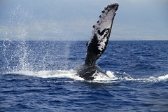Yes....he really was this close (J K Johnson) Tags: ocean beautiful canon wonderful islands interesting pacific awesome maui 7d hawaiian whale humpback lani flipper showoff whalewatching jimjohnson jkjohnson