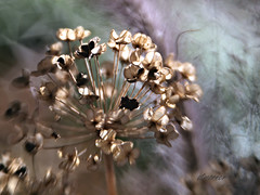 Wild Onion (Anne Worner) Tags: blur macro closeup lensbaby bokeh allium composer wildonion bendit wefi doubleglass