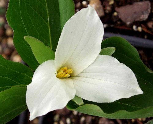 The Trillium (flower)