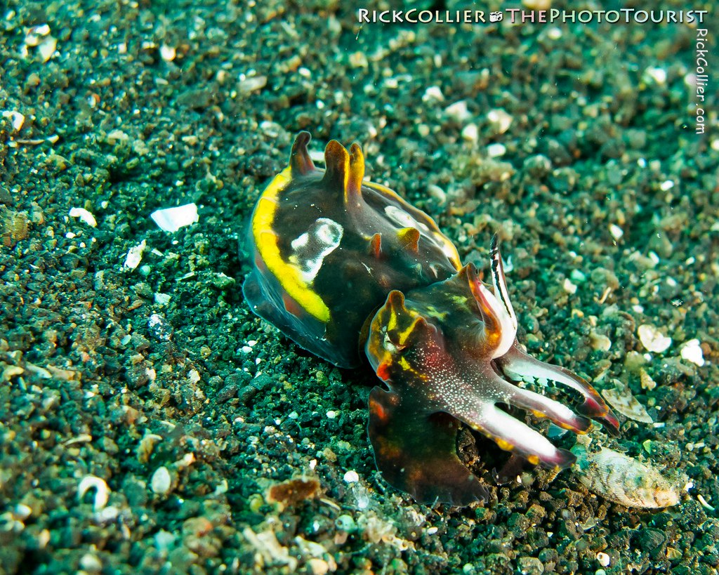 A flamboyant cuttlefish wearing warning colors scuttles along the sand in the Lembeh Strait