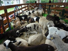 Goats & Sheep (navema) Tags: carnival toronto ontario canada animals sheep farm fair games casino cne goats amusementpark rides pavilions exhibits canadiannationalexhibition theex exhibitionplace northamericanmidwayentertainment navema