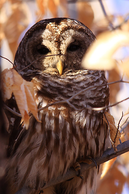 lilly, the barred owl, up close and personal