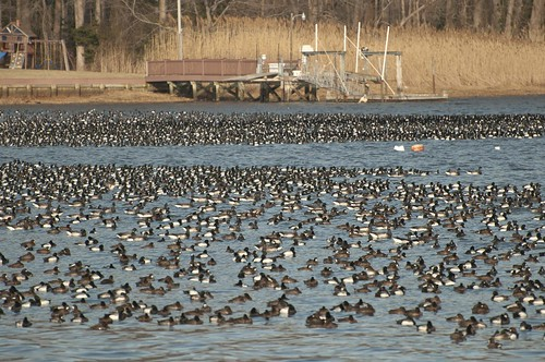 11-Ducks-0549