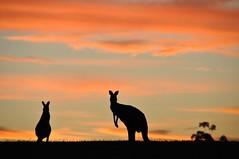[フリー画像] 動物, 哺乳類, カンガルー科, 夕日・夕焼け・日没, カンガルー, シルエット, 201103021700