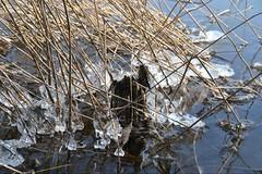 Studie in Kristallbildung (ThomasKohler) Tags: winter lake cold ice reed see february kalt eis schilf februar studie mecklenburg mritz feisneck seenplatte mueritz mecklenburgische mritzsee mueritzsee feisnecksee kristallbildung