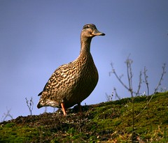 Female Mallard ( Anas platyrhynchos ) (ColGould) Tags: duck mallard martinmere femalemallard