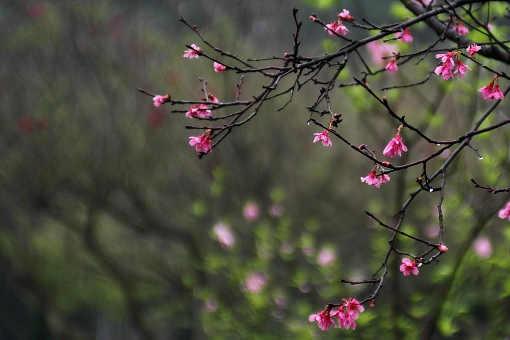 中壢休息站的 ~櫻花~