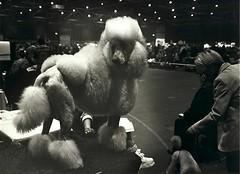 Dogshow (Guido Havelaar) Tags: bw dog chien co dogs monochrome cane blackwhite hound monotone perro hund schwarzweiss pretoebranco animalplanet noirblanc  neroeblanco