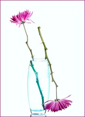 Yin & Yang (Karen_Chappell) Tags: pink blue 2 two stilllife white flower art nature glass floral stem mum refraction vase chrysanthemum