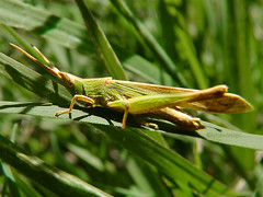 Saltamonte #4 (iohandesign) Tags: insectos nature fuji bugs fujifilm bichos hopper s200 grashopper grasshoper hoper erx saltamonte tucura