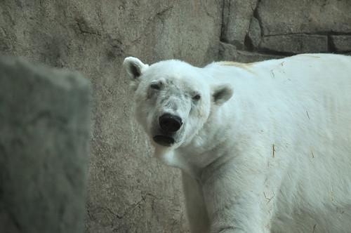Polar Bear at Como 2
