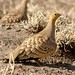 Chestnut-bellied Sandgrouse (Julia Casson)