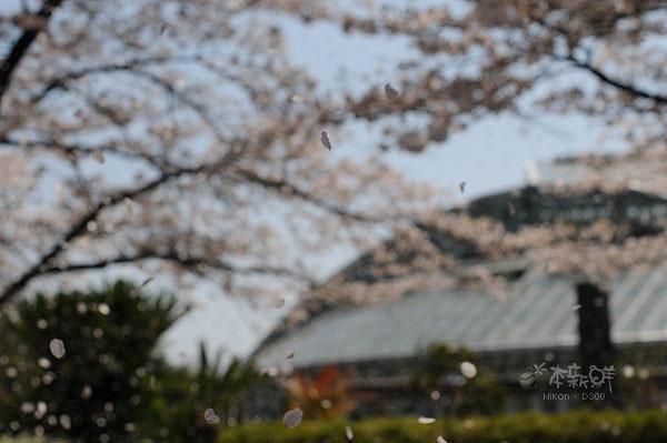 飄散在空中的櫻花花瓣