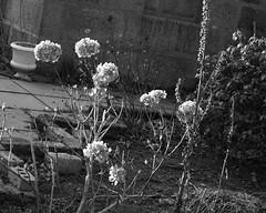 hydrangea (Rosa Alba Macdonald) Tags: heritage scotland aberdeen hydrangea listedbuildings oldaberdeen