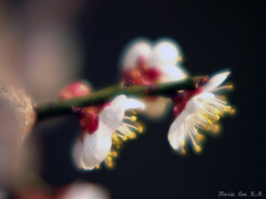 a sign of presence (Marie Eve K.A. (Away)) Tags: white blur flower macro nature japan closeup spring kyoto dof bokeh f14 85mm  plumtree  plumblossom planar earlyspring  carlzeiss  whiteplum kitanotenmangshrine