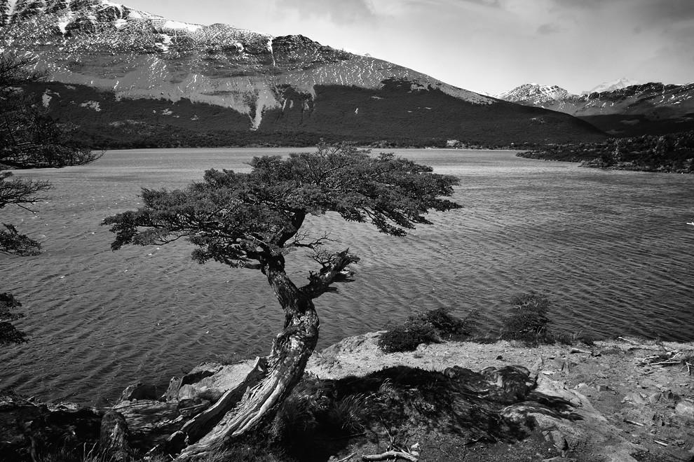 Una vista inmejorable posee el árbol que crece torcido al borde del Lago del desierto. (Guillermo Morales -  Patagonia, Argentina)