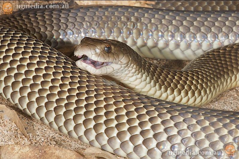 Mulga snake (Pseudechis australis)