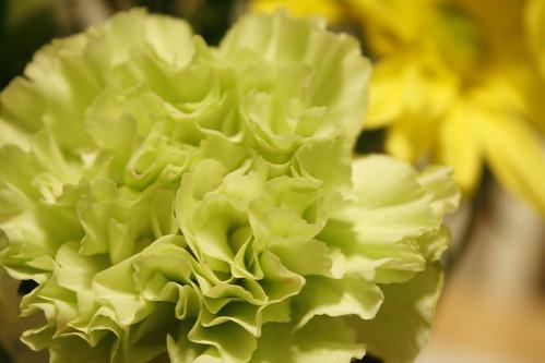 [72/365] Green Carnation