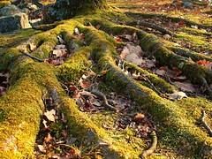 Roots (andraszambo) Tags: tree nature sunshine forest oak natur roots root természet wald baum fa moha avar erdő levelek gyökér napfény blattern gyökerek tölgy