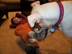 Spanky the shoe eater (deannaterrell) Tags: boxer spanky