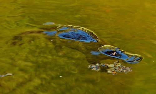 Gold Creek - platypus by Brisbane City Council, on Flickr