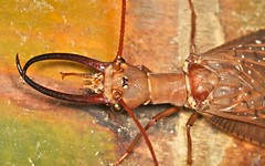 Male dobson fly (Corydanilae) (pbertner) Tags: cloud macro fly ecuador rainforest insects biology mosca entomology