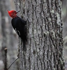 Magellanic Woodpecker (Campephilus magellanicus) (Liam Quinn) Tags: patagonia bird argentina tierradelfuego nationalpark woodpecker magellanic campephilusmagellanicus magellanicwoodpecker