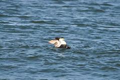 Common Eiders (males) at Barnegat Inlet (Jim_AC) Tags: winter birds barnegat anatidae anseriformes eiders