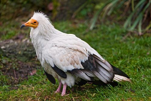 フリー写真素材, 動物, 鳥類, タカ科, エジプトハゲワシ,