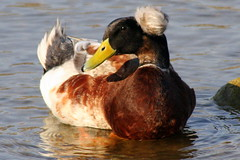 Waterfowl in Spring: Crested Duck