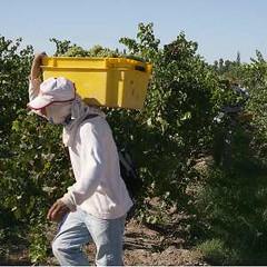 San Juan: Se atrasa la cosecha de uvas por lluvias y falta de cosechadores