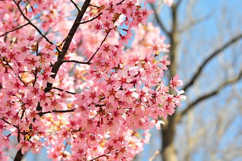 cherry pinks