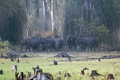 elephant herd in Nagarhole national park (LaylaLee) Tags: park india national gandhi karnataka rajiv