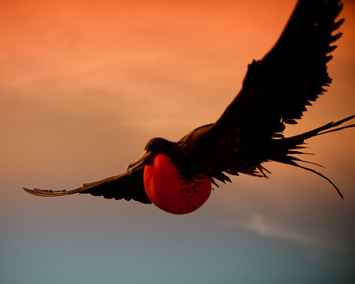 Displaying Male Frigate Bird - Journey to Midway Island