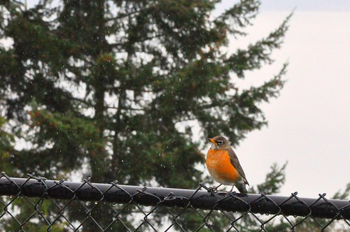 Orange bird on a fence in the rain by Xymon