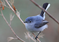 Blue-gray Gnatcatcher (SunyFLx4) Tags: blue nature birds bluegraygnatcatcher alittlebeauty seeawonder birdperfect onlythebestofnature