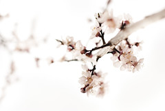 Light (M4j4) Tags: light spring branch springs bloom apricot stick blooming