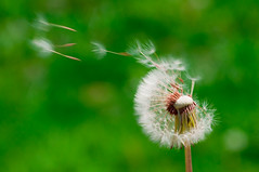 [フリー画像] 花・植物, キク科, タンポポ, 種子, 201103311300
