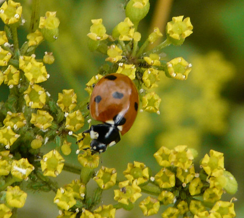 7-spot Ladybird (Coccinella 7-punctata) by Peter Orchard