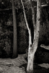 Alder, Yosemite Valley, California  2011 (john oconnor) Tags: bw snow tree nature vertical pine digital blackwhite spring glow quiet granite ligth glowing yosemitenationalpark alder yosemitevalley intimatelandscape canoneos5dmarkii johnoconnorphotography