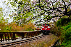Alishan Forest Train under Cherry Blossoms  (olvwu | ) Tags: railroad mountain forest train cherry spring rail railway tourist cherryblossom sakura chiayi  alishan    jungpangwu oliverwu oliverjpwu chiayicounty     olvwu   japancherry alishanforestrecreationarea   jungpang  forestrailroad alishantownship alishannationalforestrecreationarea jaoping alishanforestrailroad jaopingstation