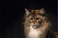 DSC_0255 (Francesco_Fontana) Tags: cat kat chat gato katze mace  macska gatto  con kot gat koka kedi kass katt kissa kttur maka kucing pusa mo   kat     pisic  qattus   kais